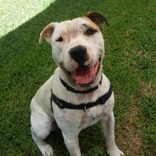 Bobby - Shar Pei x Staffordshire Bull Terrier Dog