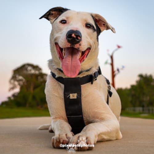 Jack - Foster me - Border Collie Dog