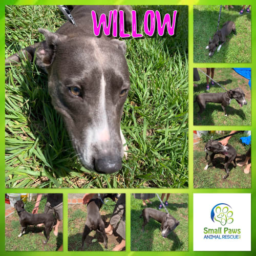 Willow - Whippet Dog