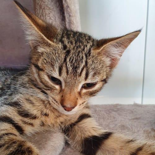 Garlan - Domestic Short Hair Cat