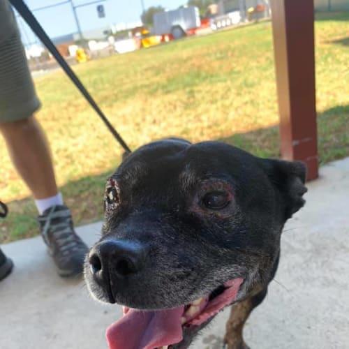 Sophie - Staffy Dog