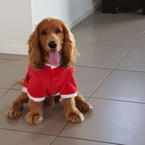 Archibald - Cocker Spaniel, English Dog
