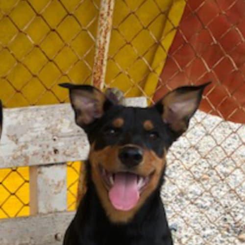 Moo Moo - Kelpie x Rottweiler Dog