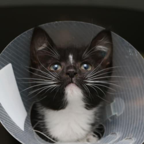 Ingrid 935710 - Domestic Short Hair Cat