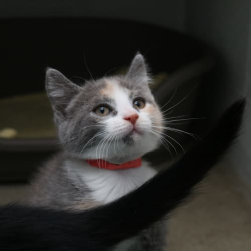Hilda 935711 - Domestic Short Hair Cat