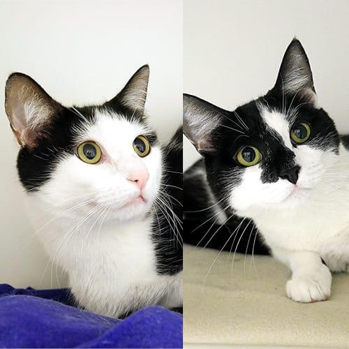 Pookie & Snookie SUA004831 SUA004832 - Domestic Long Hair Cat