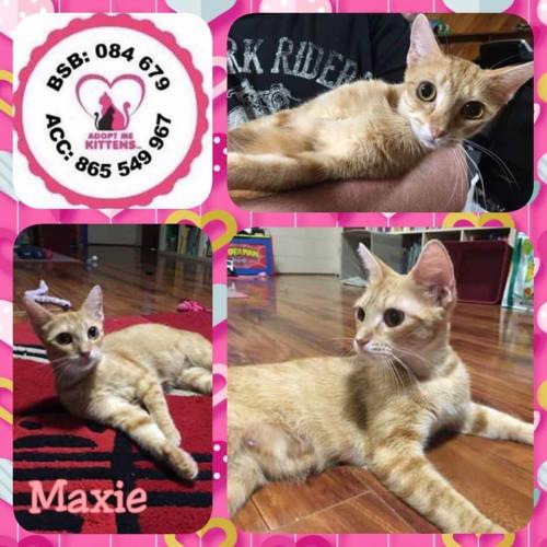 Maxie - Domestic Short Hair Cat