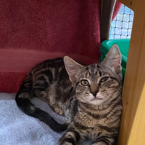 Tigerlilly - Domestic Short Hair Cat