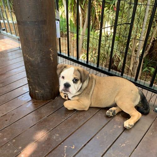 Klaus  - Australian Bulldog