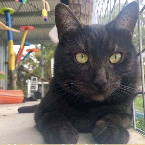 Griff (97686) - Domestic Short Hair Cat