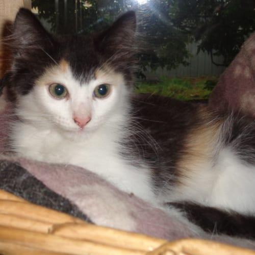 Lotti - Domestic Medium Hair Cat