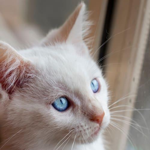 C646 Alfie - Domestic Medium Hair Cat