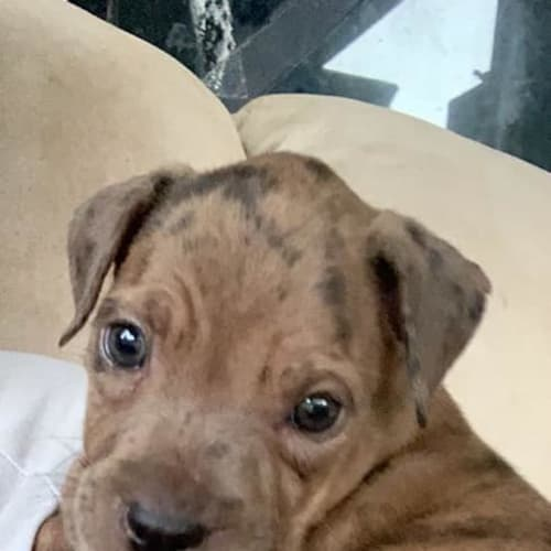 Berry - Mastiff x American Staffordshire Terrier Dog