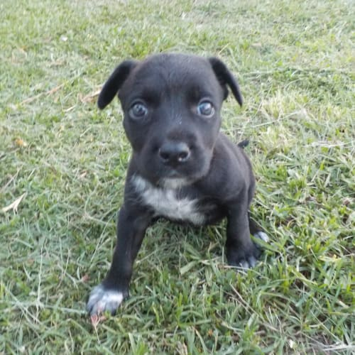 Cherry - Australian Cattle Dog x Staffy Dog