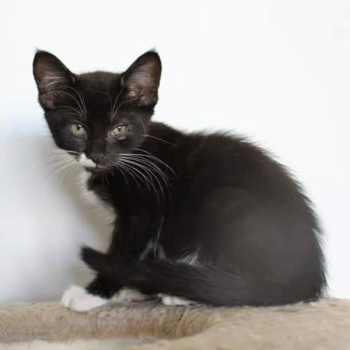 Tim - Domestic Short Hair Cat