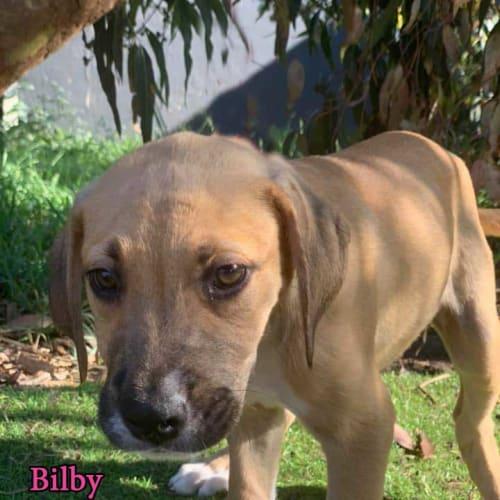 Bilby - Mastiff Dog