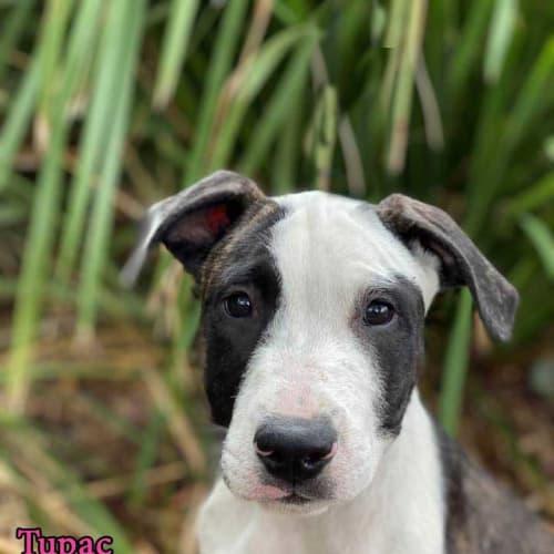 Tupac - Irish Wolfhound Dog