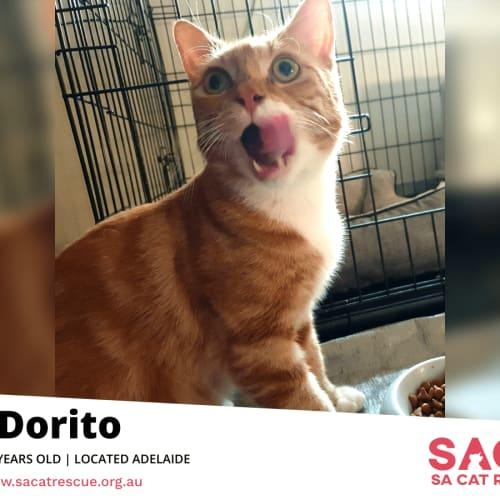 Dorito - Domestic Short Hair Cat
