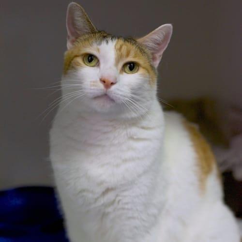 Clara - Domestic Short Hair Cat