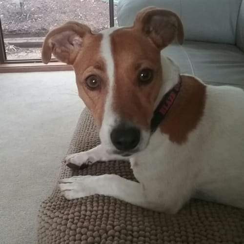Blaze - Jack Russell Terrier Dog