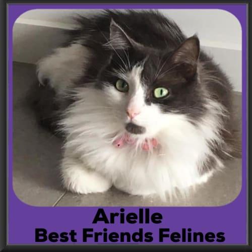 Arielle  - Domestic Long Hair Cat