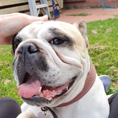 Brooklyn - British Bulldog