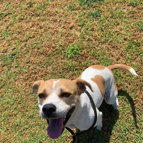 Polly DL2382 - Beagle Dog