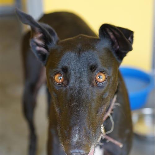 Sammy - Greyhound Dog