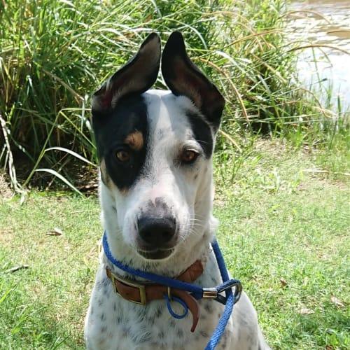 Max - Australian Cattle Dog x German Shorthaired Pointer Dog