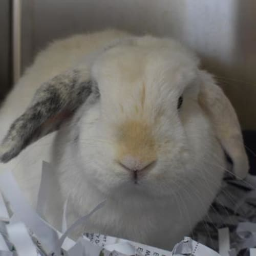 Peanut  906670 - Domestic Rabbit