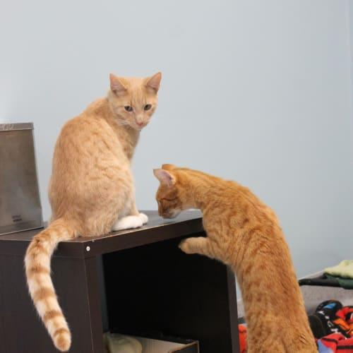 Cheddar & Pecorino - Domestic Short Hair Cat
