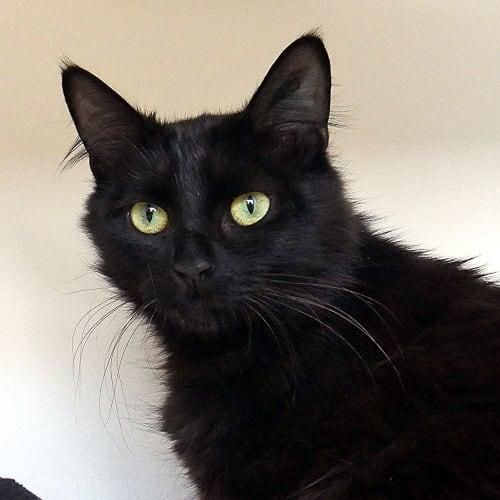 Molly STA004785 - Domestic Medium Hair Cat