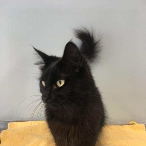 Karmann - Domestic Medium Hair Cat