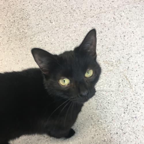 Cabernet - Domestic Short Hair Cat