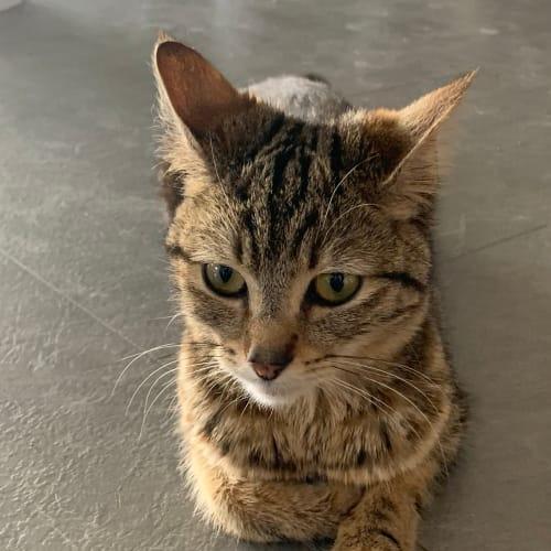 Maddy - Domestic Short Hair Cat