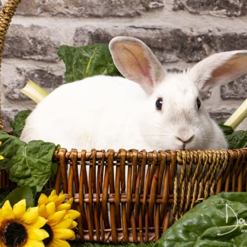Pip - Domestic Rabbit
