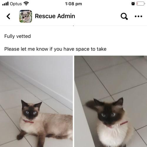Coco and Missy  - Ragdoll Cat