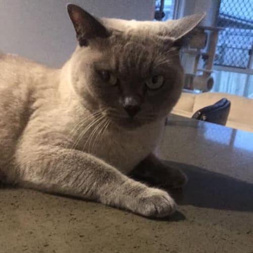 Chevy  - Tonkinese Cat