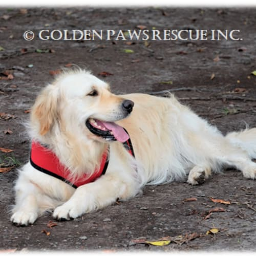 Ruby - Golden Retriever Dog