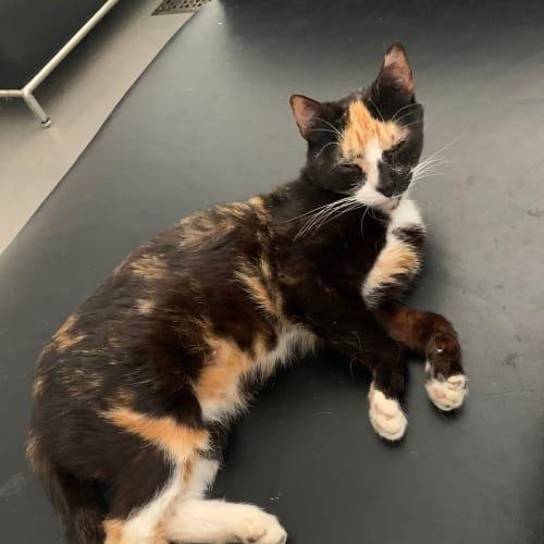 D'Coda - Domestic Short Hair Cat