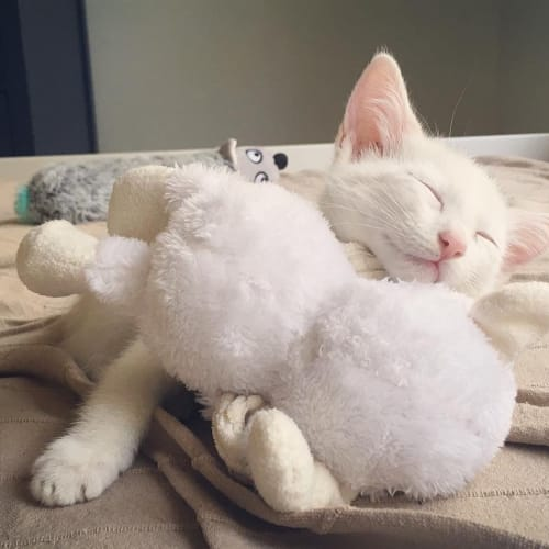 Banana - Domestic Short Hair Cat