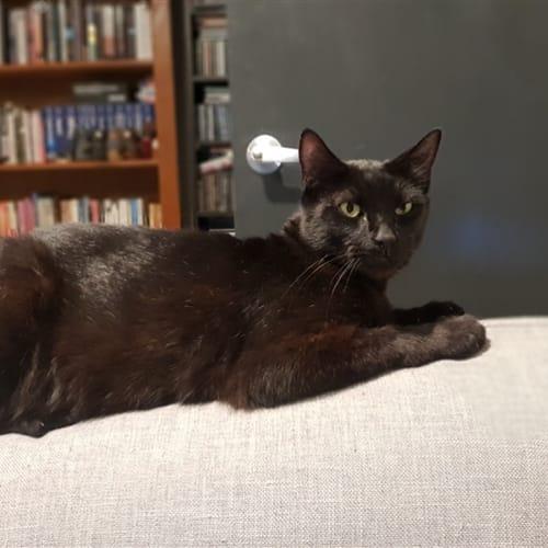 Ruffy - Manx Cat