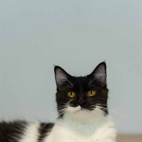 Angel  - Domestic Medium Hair Cat