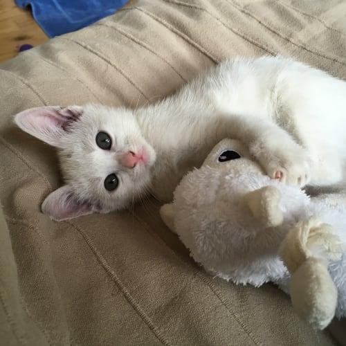 Coconut - Domestic Short Hair Cat