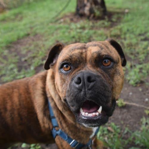 Adelaide - British Bulldog x English Staffordshire Bull Terrier Dog