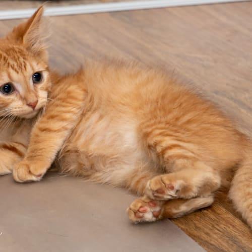 Cecil - Domestic Medium Hair Cat