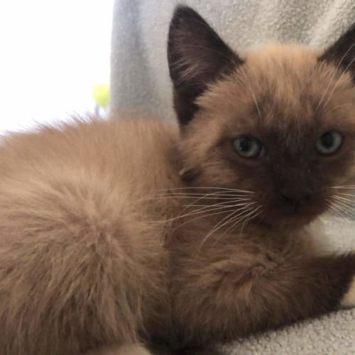 Latte - Ragdoll x Domestic Short Hair Cat
