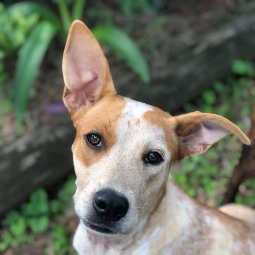 Roxy - Australian Cattle Dog