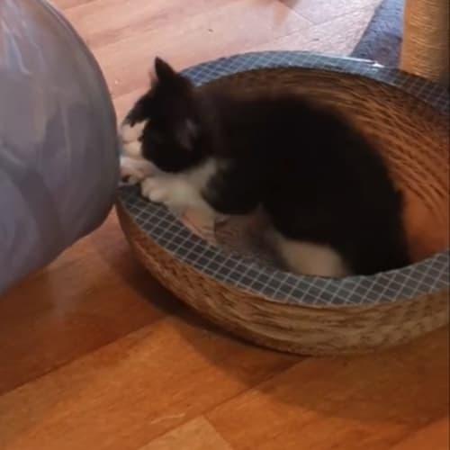 Mocha - Ragdoll x Domestic Short Hair Cat