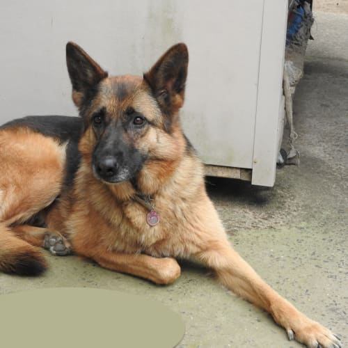 Bindi - bonded with Jackie Snr - German Shepherd Dog